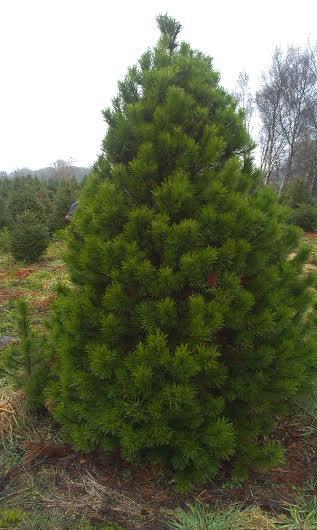 A lodgepole pine tree