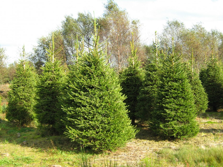 Pick your own Christmas Tree at Meadow Lane Farm