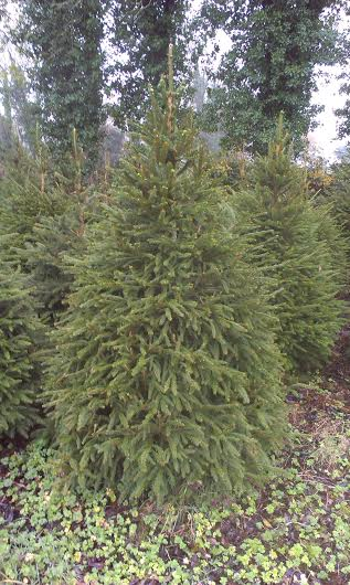 A Norway Spruce Tree