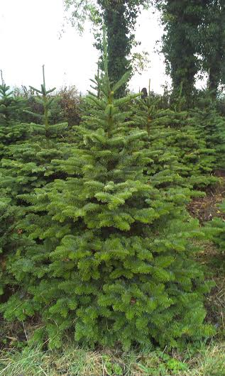 A noble fir tree