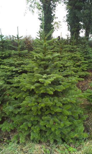 A noble fir tree