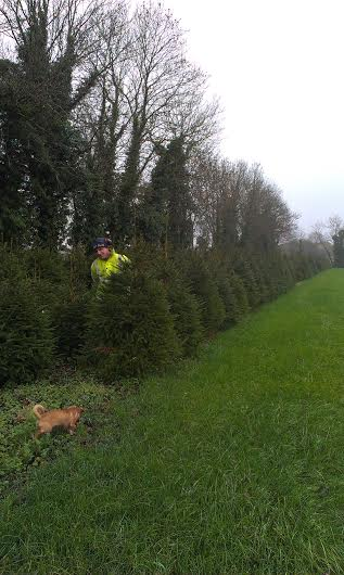 New crop of norway spruce